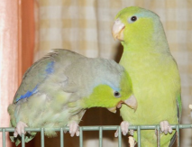 Biting Lovebirds