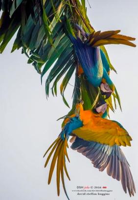 Trinidad macaws
