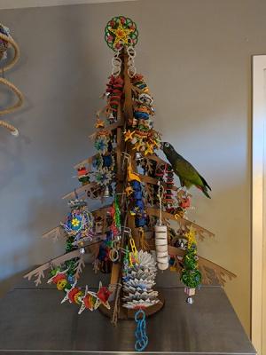 Maximillian's pionus investigating the cardboard parrot Christmas tree