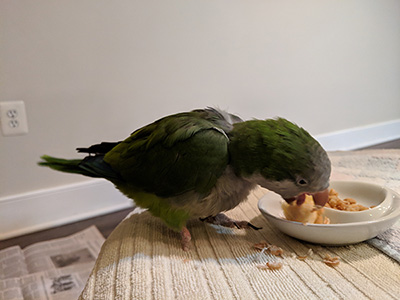 Special needs Quaker parakeet eating