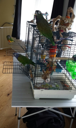 Three parrots with their travel cages