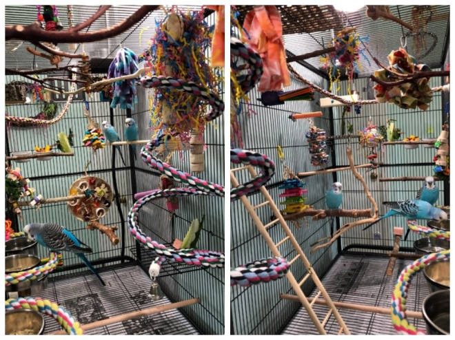 Parakeets inside their cages, with ladders, toys, many different perches of different materials.