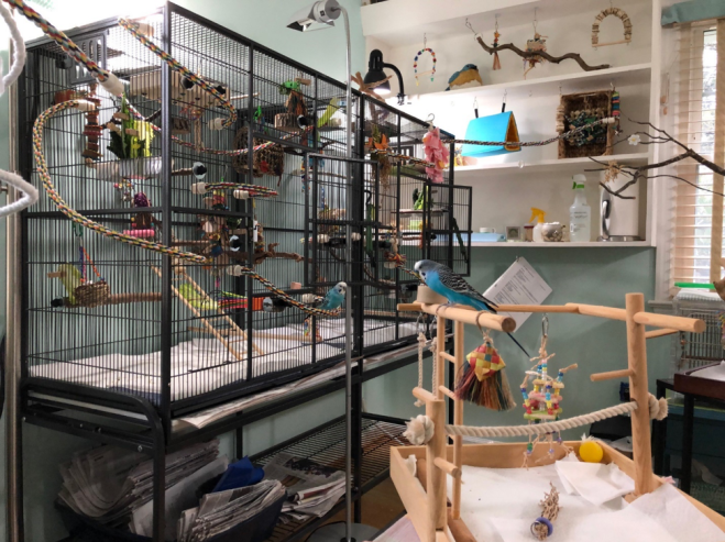 Two blue parakeets are seen in a room - on a cage. In the room there are playstands and perches. There are also toys, swings, perches and tents on the shelving in the room for the birds.